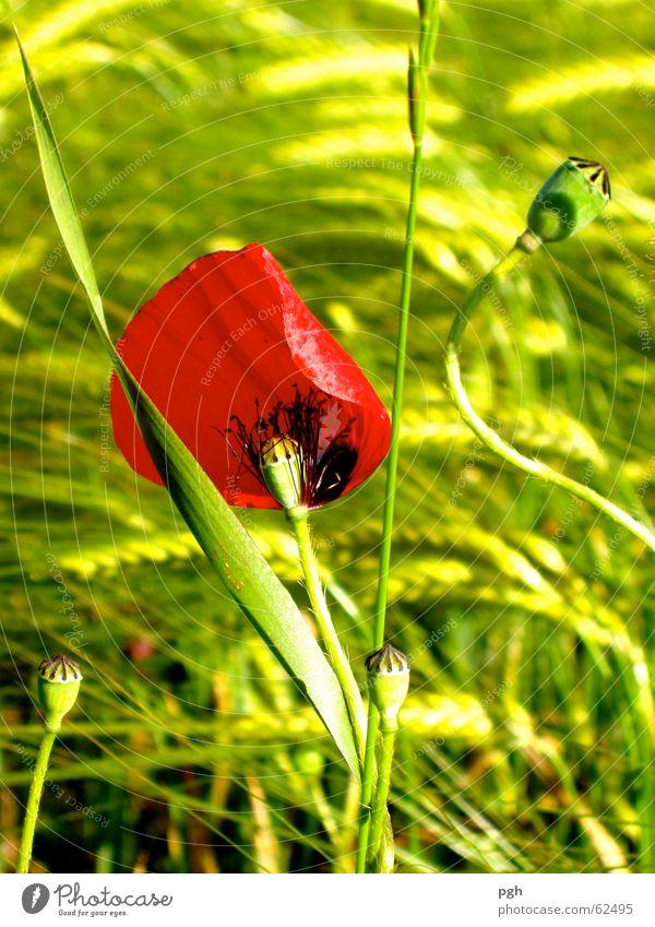 Mohn im Wind Blume grün rot Wiese Gras Weizen Weizenfeld