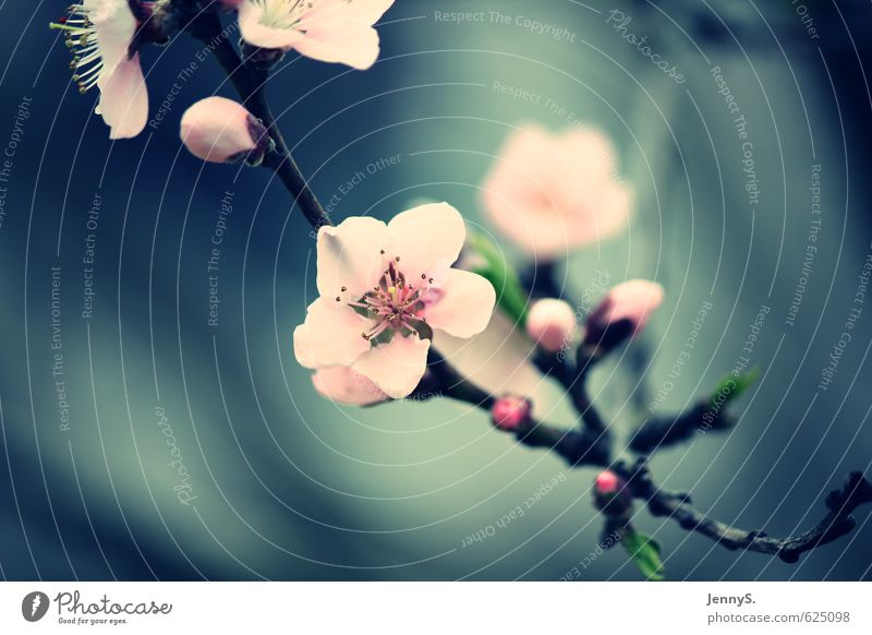 Kirschblüte Natur blau schön Pflanze Sommer Umwelt Blüte rosa Wachstum Duft Frühlingsgefühle