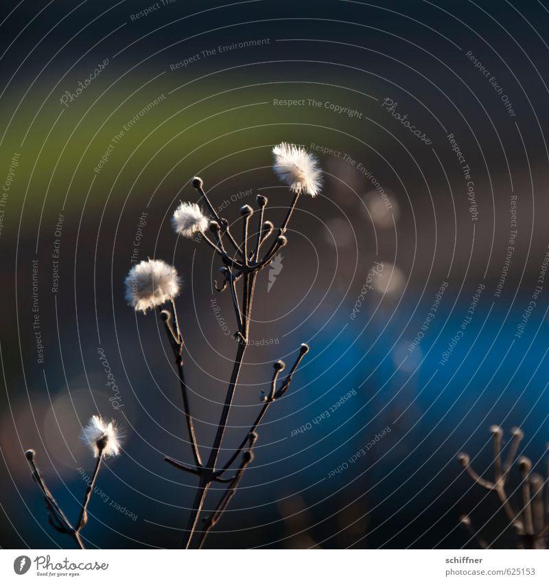 Verfallsdatum überschritten   und trotzdem flauschig Pflanze Blume Sträucher Blüte blau weiß weich Pflanzenteile Winter Punkt Außenaufnahme Nahaufnahme