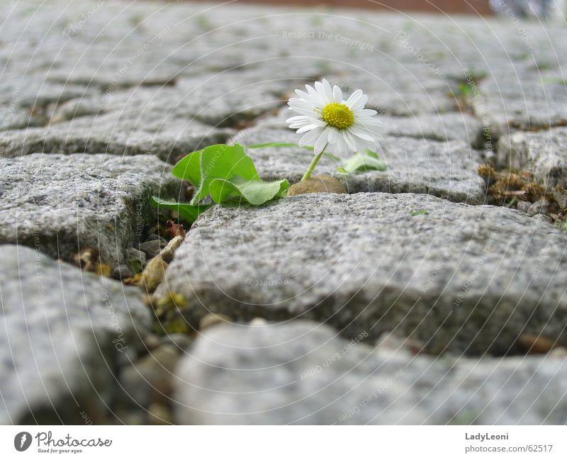 einsame Blume Natur Stein Kopfsteinpflaster