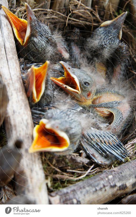 Kohldampf Natur blau Tier gelb Tierjunges Leben grau Holz Essen Vogel orange Kindheit niedlich Tiergruppe Lebensfreude Fressen