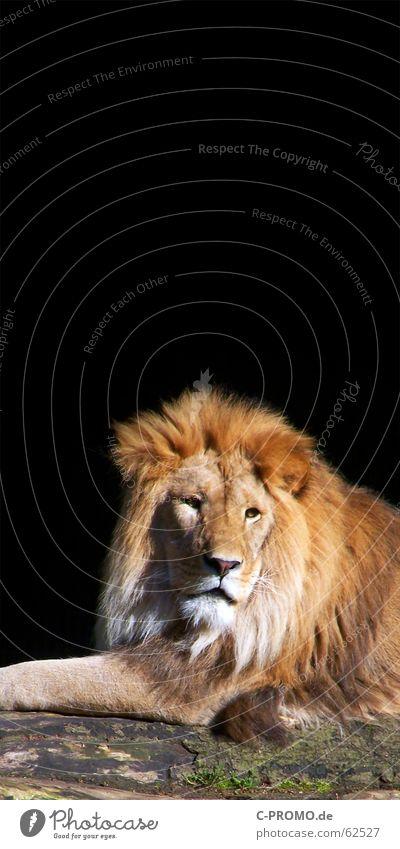 Was gibt es... Löwe Katze Mähne Fell Raubkatze schwarz Erholung Langeweile Zoo Afrika Haare & Frisuren Tier Landraubtier Baumstamm Säugetier Macht König
