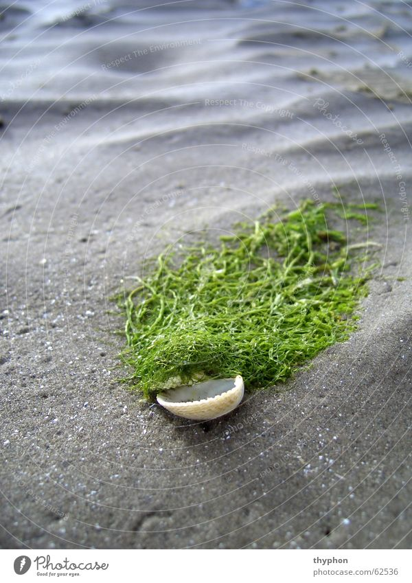 Muscheltoupet Algen Strand Perücke Wellen Meer grün Wattenmeer Republik Irland Sand Makroaufnahme