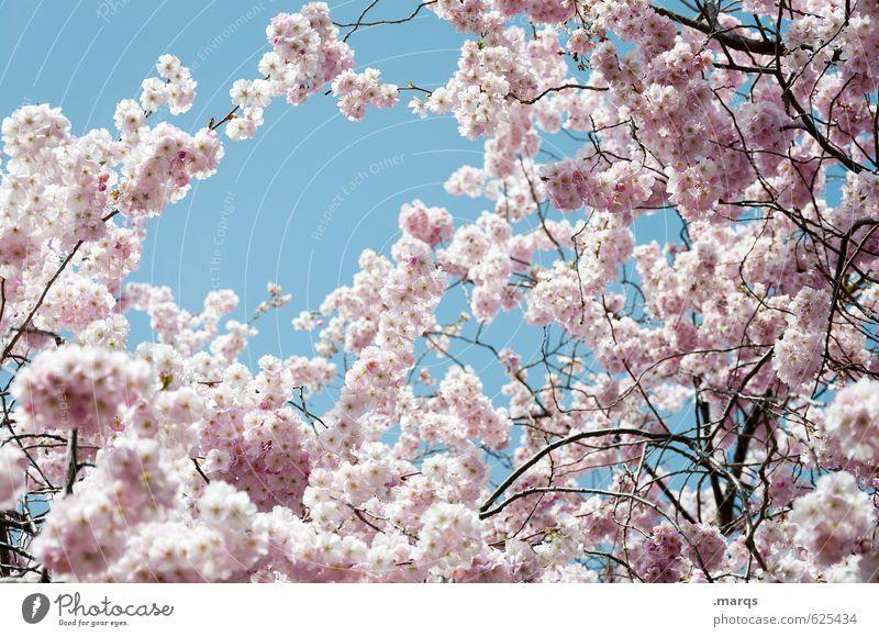 Frühblüher Natur Pflanze Wolkenloser Himmel Frühling Schönes Wetter Kirschbaum Kirschblüten Zweig Blühend Wachstum ästhetisch frisch hell natürlich neu schön