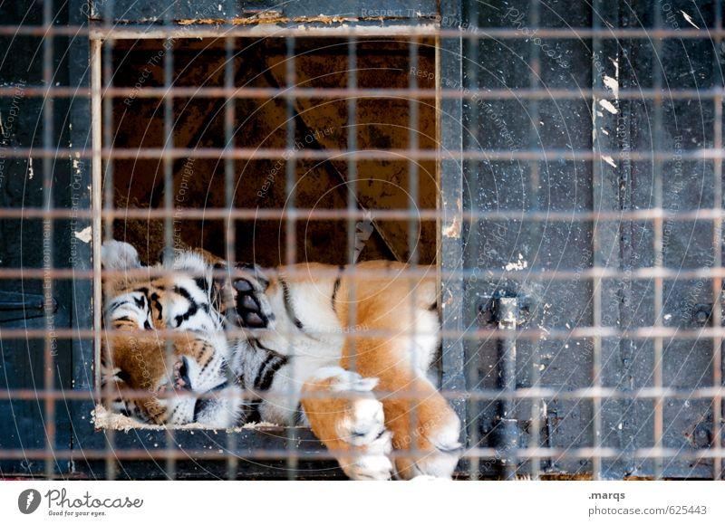 Verschlafen Tier Wildtier Zoo Tiger 1 Käfig Gitter Erholung liegen gefährlich Fell gefangen König maskulin Pfote Raubkatze Umwelt faulenzen Farbfoto