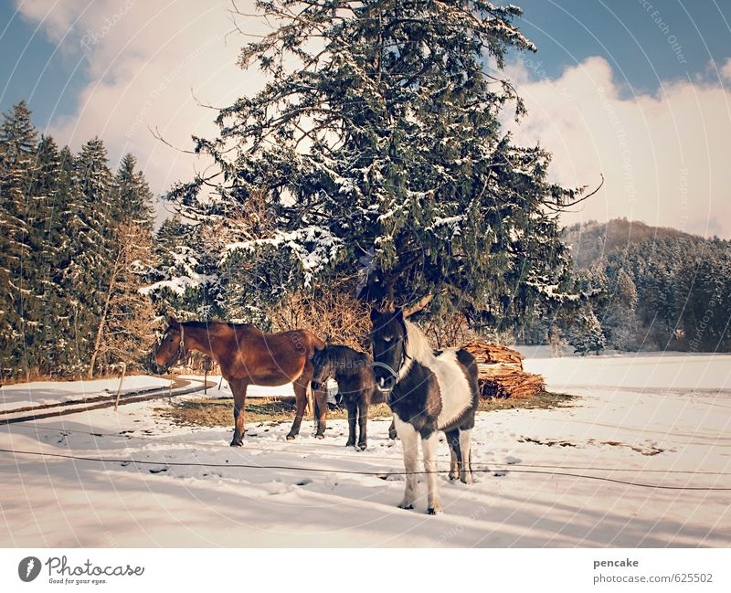wild westallgäu Natur Landschaft Urelemente Himmel Wolken Winter Schönes Wetter Eis Frost Schnee Baum Wald Alpen Tier Pferd 3 Tiergruppe authentisch frei