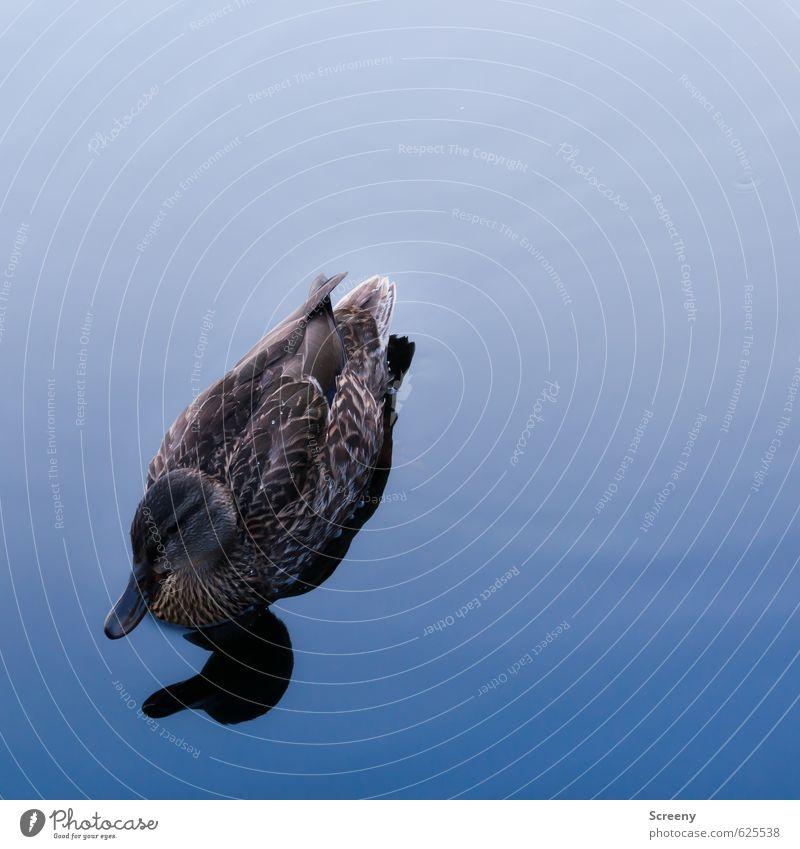 Bereit zum Enten... Natur Wasser Teich See Tier Wildtier 1 Schwimmen & Baden blau braun Stimmung Gelassenheit ruhig Leichtigkeit Farbfoto Außenaufnahme