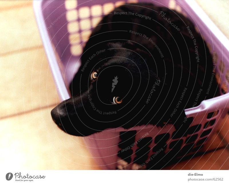 Hund im Wäschekorb schwarz süß violett Flur Angst Verwechslung boarder collie Fliesen u. Kacheln Waschen hundewäsche waschmaschiene dazugehörigkeit
