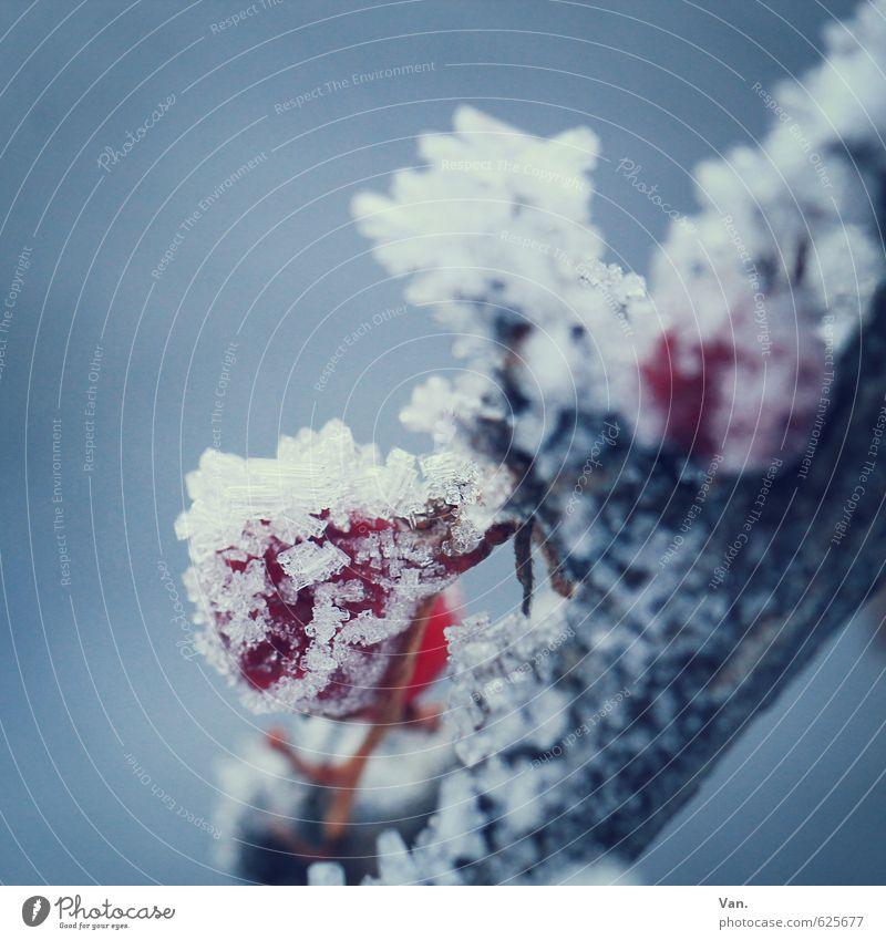 konserviert Natur blau Pflanze rot Winter kalt Schnee grau Eis Frucht weich Frost Zweig Beeren