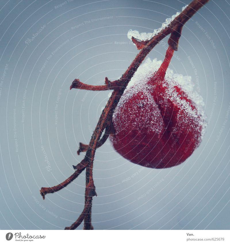 ohne Konservierungsstoffe Natur Pflanze Winter Eis Frost Schnee Zweig Beeren Frucht kalt grau rot Farbfoto Gedeckte Farben Außenaufnahme Nahaufnahme