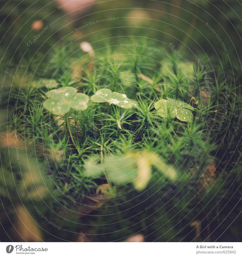 Waldleben Umwelt Natur Pflanze Sommer Herbst Gras Blatt Klee natürlich grün Waldboden Tau Gedeckte Farben Außenaufnahme Nahaufnahme Detailaufnahme Menschenleer