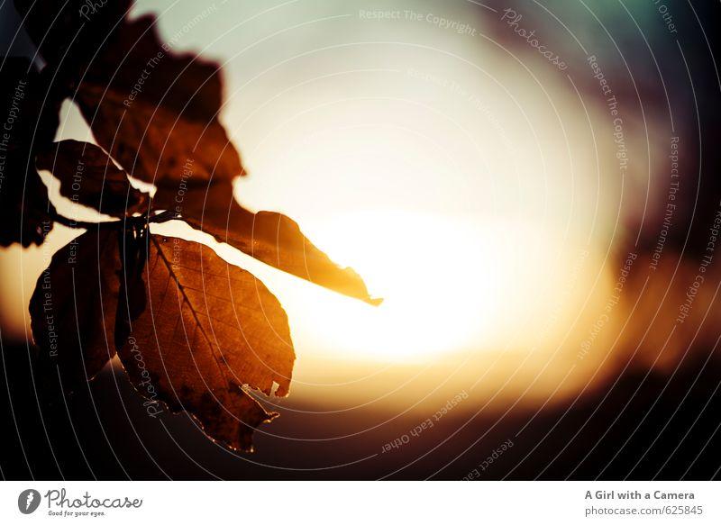 es wird Abend Umwelt Natur Pflanze Herbst Schönes Wetter Blatt Wald leuchten Tod Traurigkeit gold Ende Trauer Gedeckte Farben Außenaufnahme Nahaufnahme