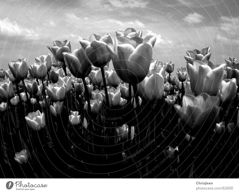 Tulpenfeld SW Himmel Natur Blume Wolken ruhig Erholung Leben Wärme Feld hoch trist Landwirtschaft Gemälde Baumstamm Duft