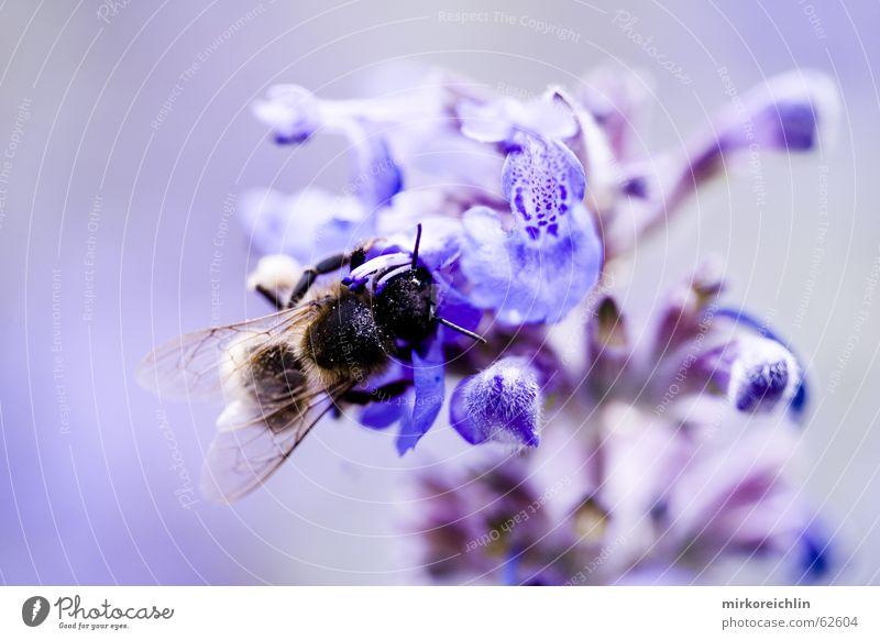 Aufklärung aufklären Biene Wespen Blume harmonisch Symbiose Unschärfe blau Flügel Makroaufnahme canon bigway Natur