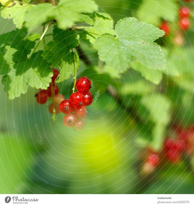 johannisbeer Lebensmittel Frucht Marmelade Ernährung Picknick Kinderspiel grünes Klassenzimmer Gartenarbeit Ruhestand Natur Sonnenlicht Sommer Sträucher