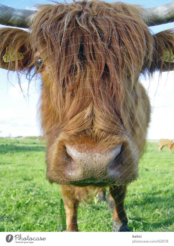 Schau mir tief in die Augen ... Tier Wiese Gras Kopf braun Nase Fell Weide Kuh Schnauze Rind buschig Viehweide Nasenloch
