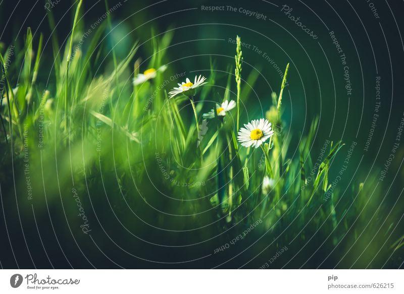 tausendschön Natur grün weiß Pflanze Sommer Sonne Blume dunkel Wiese Gras Frühling hell frisch Schönes Wetter Halm Gänseblümchen