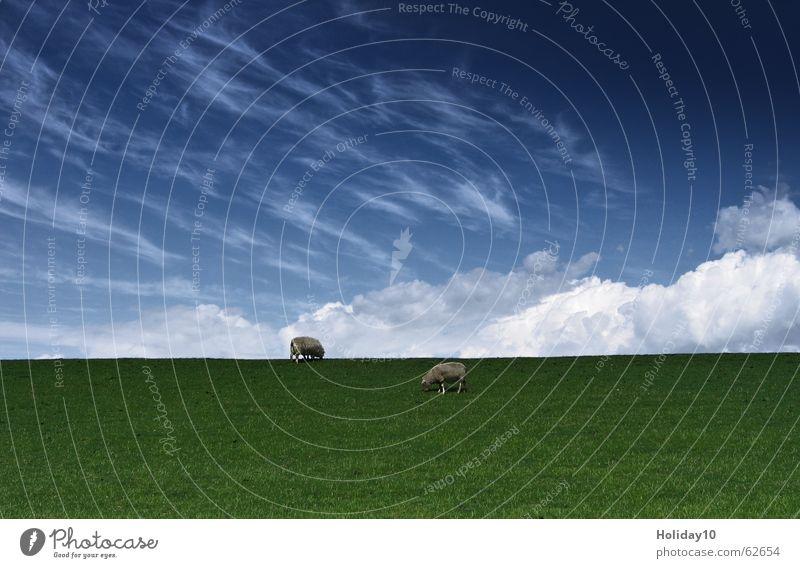 Unter Schafen grün Wiese Hintergrundbild Wolken Himmel blau sky Landschaft