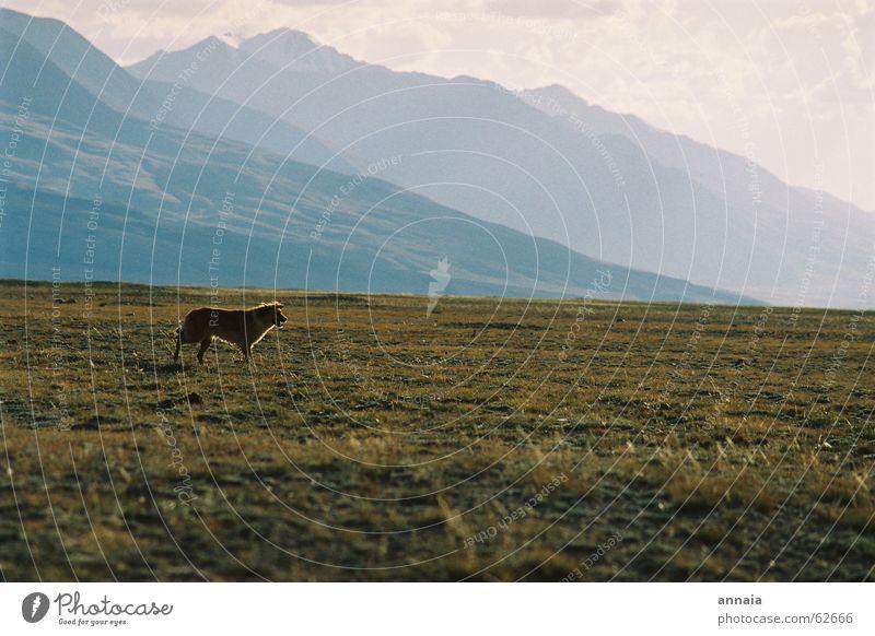 Hundeleben Kulisse Steppe Gras frei Berge u. Gebirge hills kirgistan kyrgistan kirgisistan Ferne Freiheit frei laufen dog