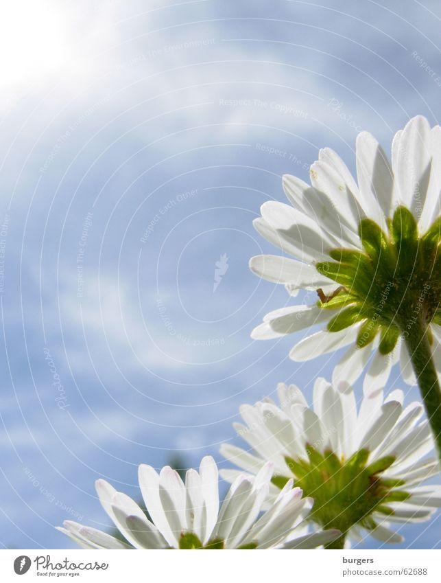 Der Sonne entgegen Natur Himmel Sonne Wolken Rasen Sehnsucht Gänseblümchen streben