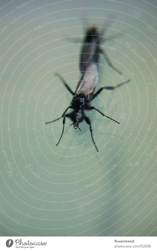 Liebestanz an der Fensterscheibe Insekt Tier Nachkommen Fertilisation fliegen Fliege Flügel liebesspiel insect fly animal