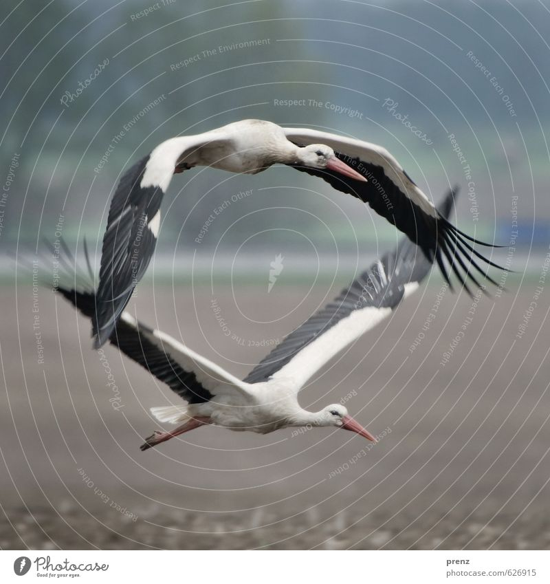 Doppeldecker Umwelt Natur Tier Sommer Schönes Wetter Wildtier Vogel 2 blau grau Storch fliegen fliegend Storchendorf Linum Weißstorch Farbfoto Außenaufnahme