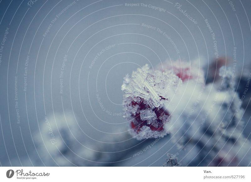 schockgefrostet Natur Pflanze Winter Eis Frost Schnee Beeren Frucht Zweig kalt weich blau grau rot Farbfoto Gedeckte Farben Außenaufnahme Nahaufnahme