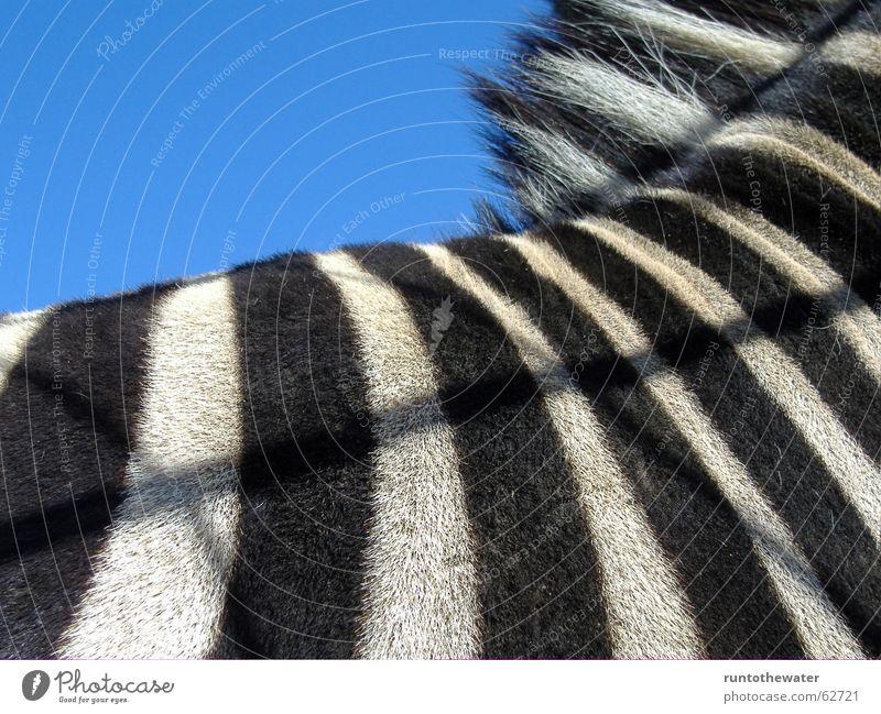 Musterhaft Zebra gefangen schwarz weiß gestreift Streifen Tier Zoo Afrika Fernweh Himmel Rücken Detailaufnahme