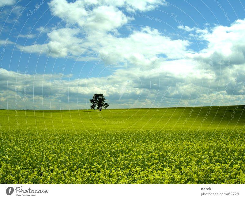 Das Rapsfeld  und der einsame Baum Feld Wiese Wolken schlechtes Wetter gelb grün Frühling Mittagspause Tag Benzin Diesel rein Himmel Schatten Bioprodukte