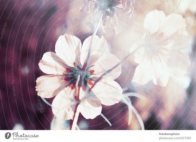 blume Natur Pflanze Blume Garten Blühend leuchten verblüht Wachstum ästhetisch Duft feminin rosa weiß Stimmung Reinheit Gelassenheit rein ruhig schön träumen