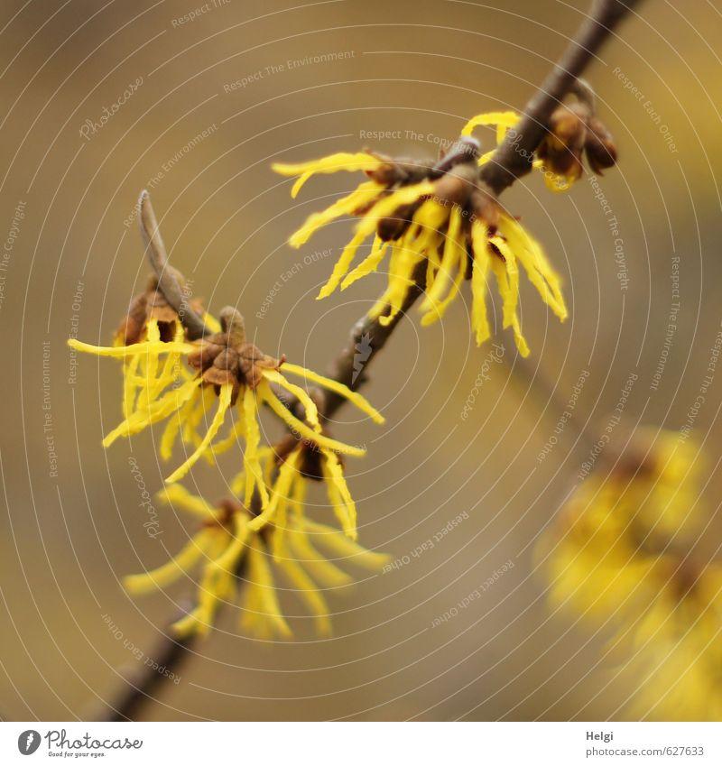 Winterblüten II Umwelt Natur Pflanze Sträucher Blüte Zierpflanze Zaubernuss Zweig Garten Blühend Wachstum ästhetisch außergewöhnlich schön klein natürlich braun