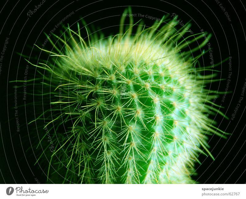green cactus Kaktus grün Zimmerpflanze stachelig Schmerz schwarz gefährlich Stachel weiße stacheln Makroaufnahme Wüste