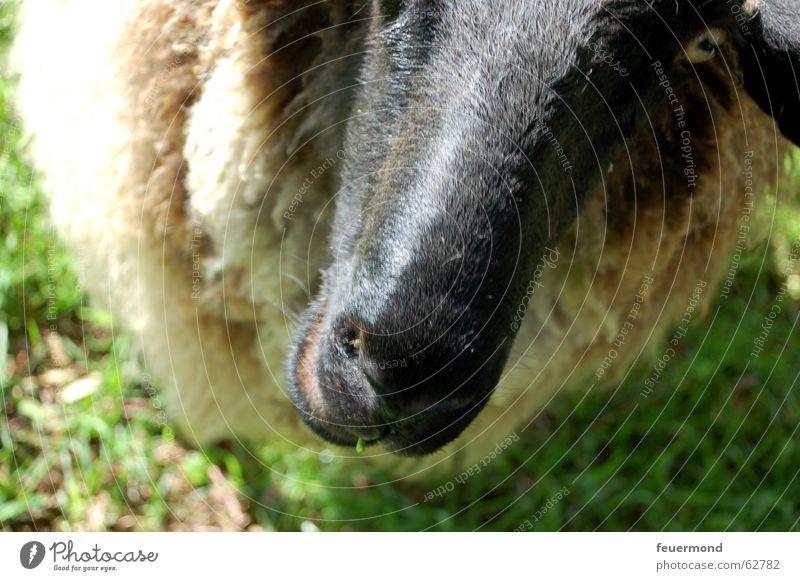 Wolltier (1) Tier Wiese Nase Ohr Bauernhof Weide Schaf Haustier Säugetier Wolle