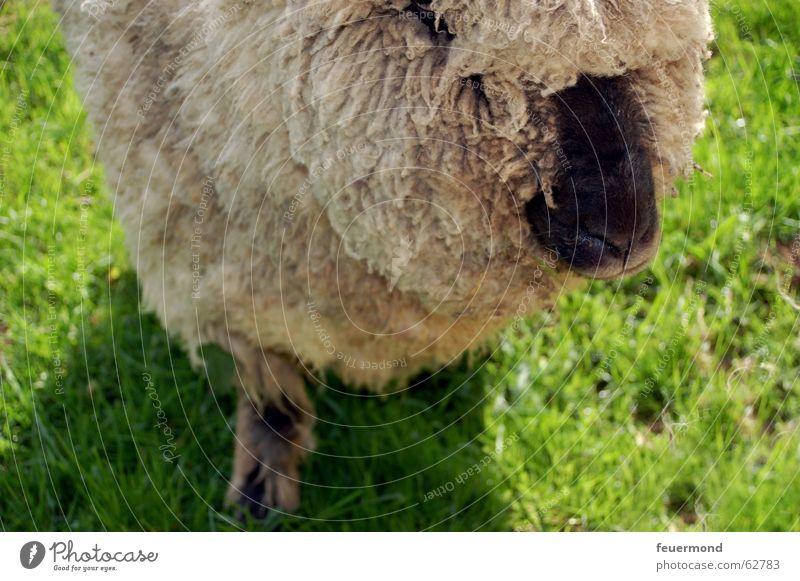 Wolltier (2) Tier Wiese Nase Ohr Bauernhof Weide Schaf Haustier Säugetier Wolle