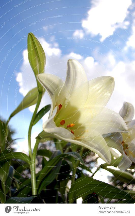 Lilium Lilien Pflanze Blume weiß grün Blüte Wolken Blatt Friedhof Beerdigung Natur Sonne Schönes Wetter Blauer Himmel blau lily bloom flower white