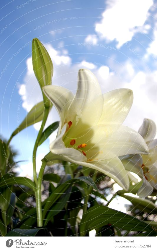 Lilium Natur weiß Sonne Blume grün blau Pflanze Blatt Wolken Blüte Schönes Wetter Lilien Blauer Himmel Friedhof Beerdigung