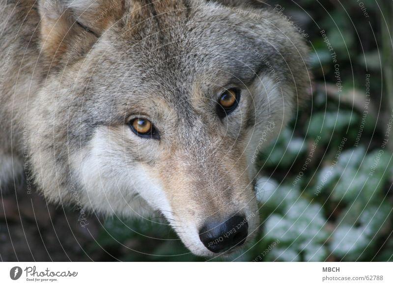 Ich seh dich Wolf Schnauze Fell grün braun schwarz Schnurrhaar Tier Blick Auge Nase Wildtier Haare & Frisuren orange