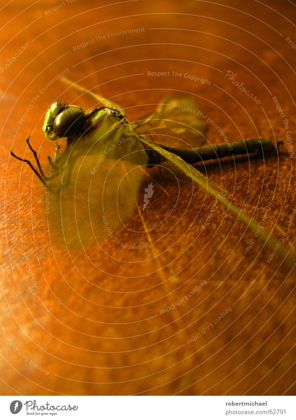 ausgetrocknet Libelle Insekt Tier Schwanz stechen Biene fliegen Holz Muster Tisch Stillleben grün braun gelb Beginn Teich Sommer Nahaufnahme schimmern Unschärfe
