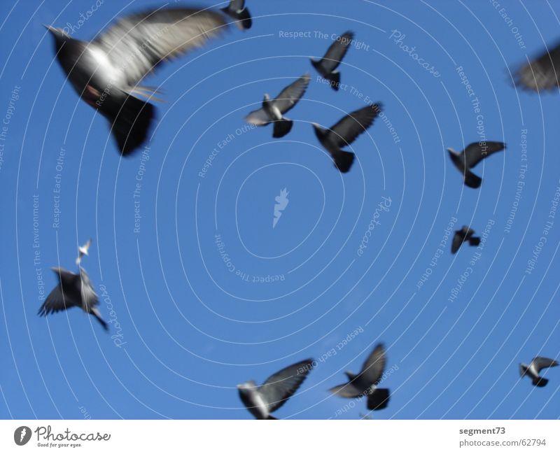 Tauben fliegen dolle Vogel azurblau Geschwindigkeit Himmel Flügel Feder aufwärts blick in himmel