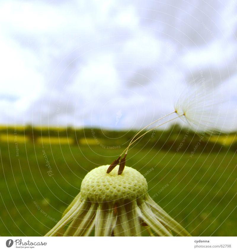 Die letzten Überlebenden Himmel Natur Pflanze Frühling Blüte Glück Wind paarweise Perspektive gefährlich einzeln bedrohlich Sicherheit festhalten Löwenzahn Leichtigkeit