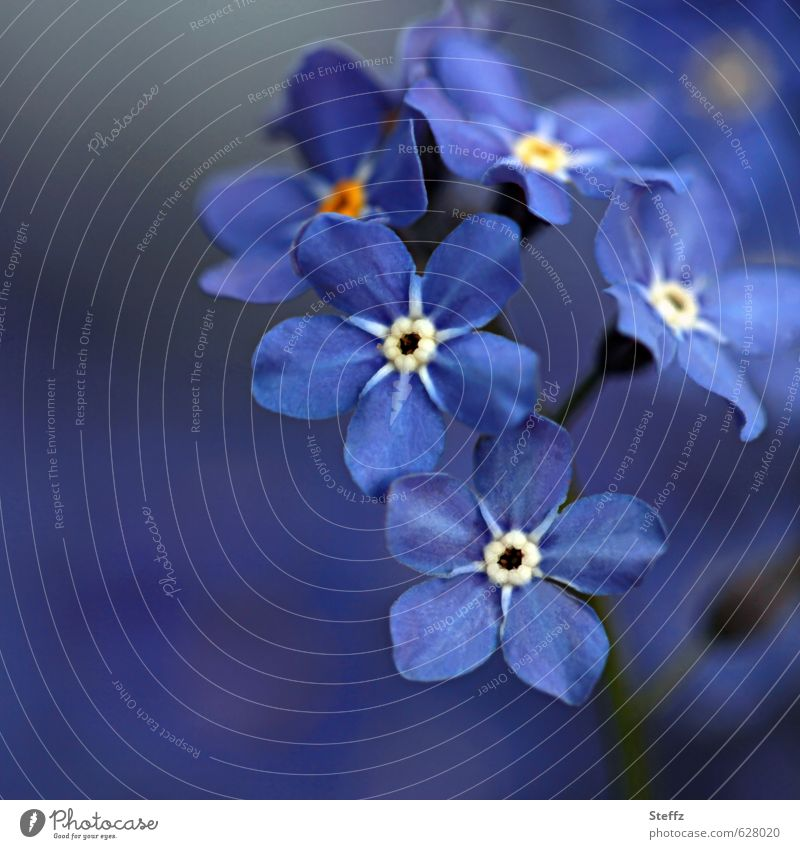 Vergissmeinnicht Valentin(e) Natur Pflanze blau schön Blume Blüte Frühling Glück klein Dekoration & Verzierung Geburtstag ästhetisch Blühend Lebensfreude niedlich Romantik