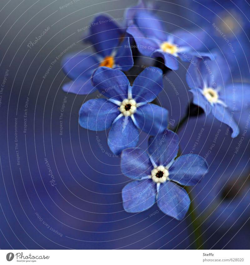 Vergissmeinnicht Vergißmeinnicht blühende Blumen kleine Blümchen Wildblumen heimische Wildpflanzen romantisch Frühlingsblumen dunkelblau kleine Blumen