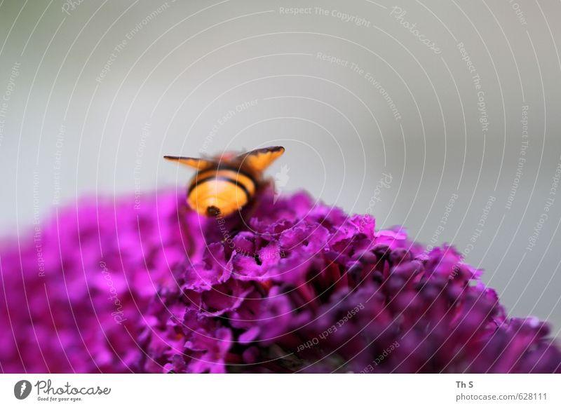 Biene Natur schön ruhig Tier Frühling Freiheit natürlich Zufriedenheit authentisch ästhetisch Blühend nah Duft harmonisch friedlich