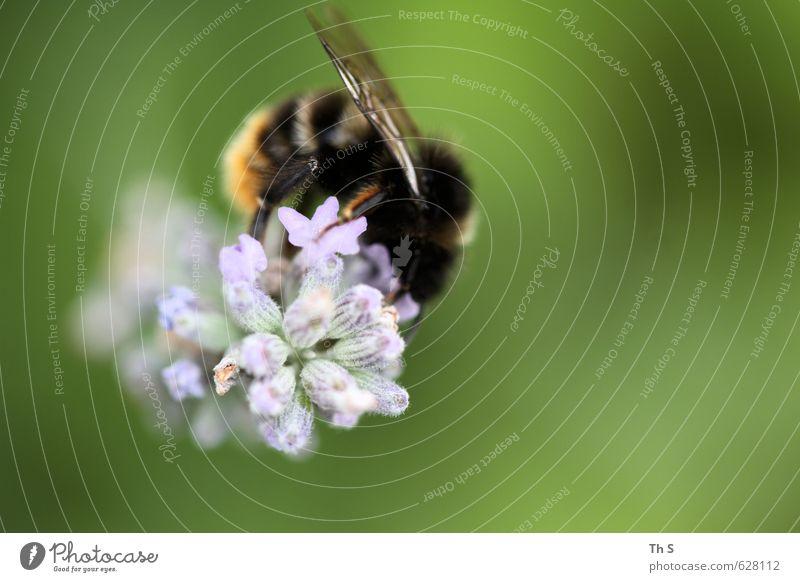 Biene Natur schön Pflanze Erholung ruhig Tier Frühling Freiheit Glück natürlich wild Wildtier authentisch ästhetisch Blühend Freundlichkeit