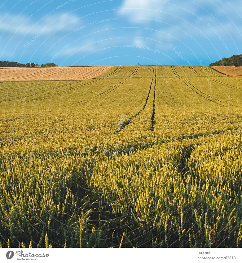 spuren im feld Natur Himmel Pflanze Ferne Feld Horizont Wachstum Getreide Landwirtschaft Ernte Weizen Feldfrüchte
