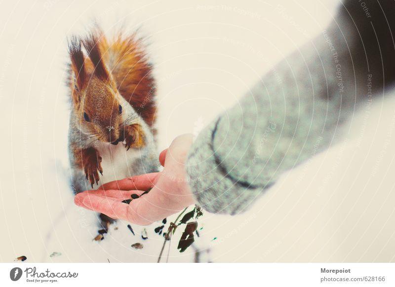 Eichhörnchen Winter Schnee Wald Tier Wildtier 1 Freude Lebensmittel füttern weiß orange Farbfoto Außenaufnahme Menschenleer Textfreiraum links Tag