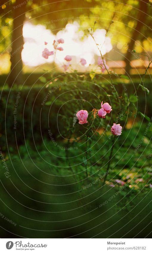 Rosen Natur Sonnenlicht Frühling Sommer Schönes Wetter Pflanze Blume Gras Blüte Garten Glück Gefühle Stimmung Freude Fröhlichkeit Frühlingsgefühle Rosenblätter