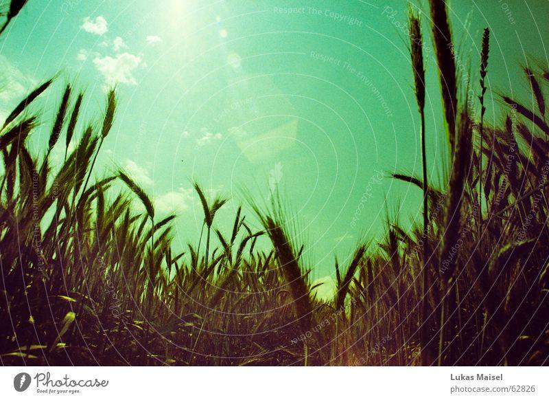 *weit Weizen Roggen Gerste Sommer Physik heiß Landwirtschaft Aussaat säen Mühle blenden Weitwinkel Getreide Himmel Wärme blau Ernte Sonne hell anbaufläche cross