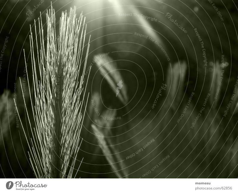 ...die letzten Sonnenstrahlen Frühling Feld Getreide Weizen Abendsonne Strichhaar