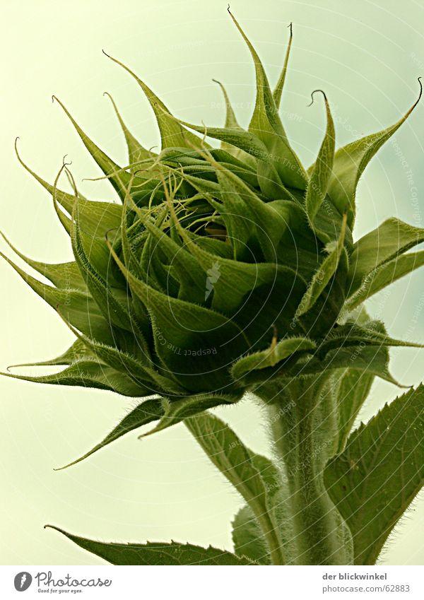 knospe grün Blüte Wachstum Sonnenblume entstehen